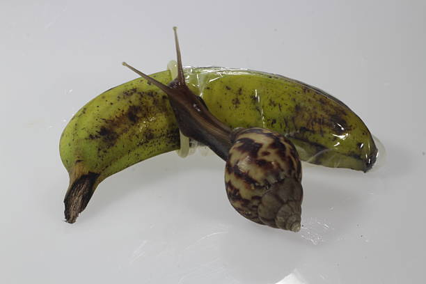 concept picture of sex with Banana condom and snail stock photo