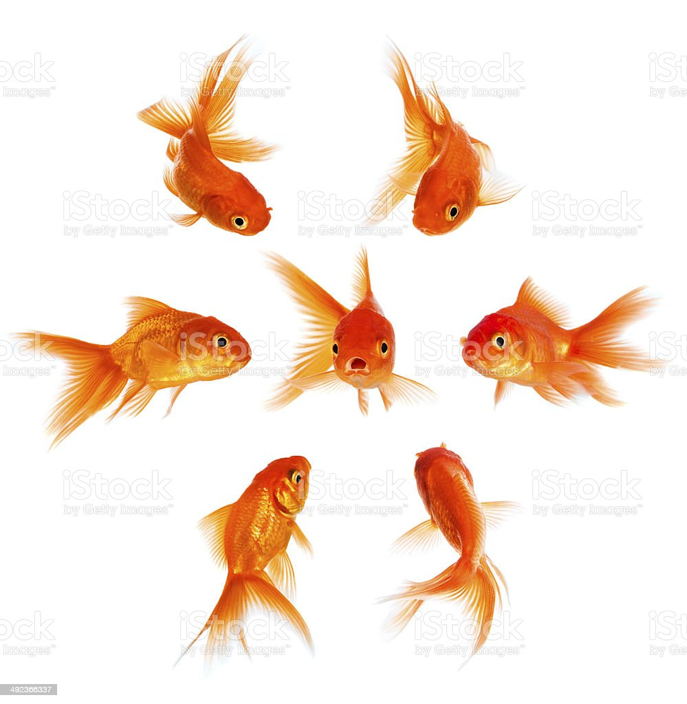 Concept with goldfish stock photo