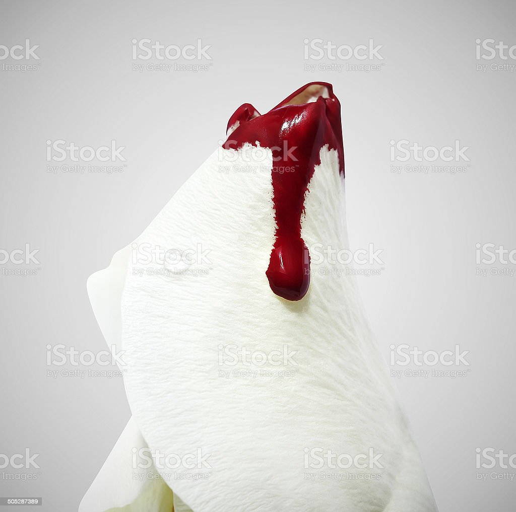 Conceptual white rose with a blood on it stock photo