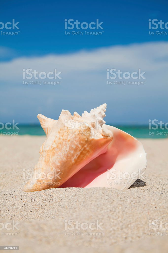 Conch Shell at the Beach royalty-free stock photo