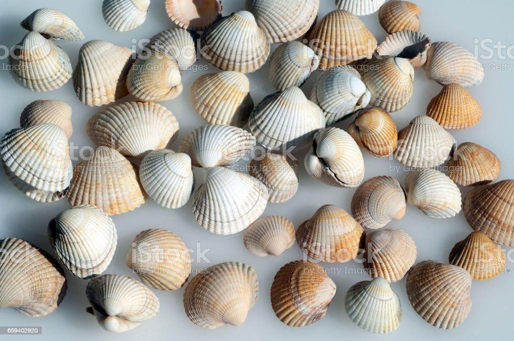 Conch shell, Cerastoderma, edule, stock photo