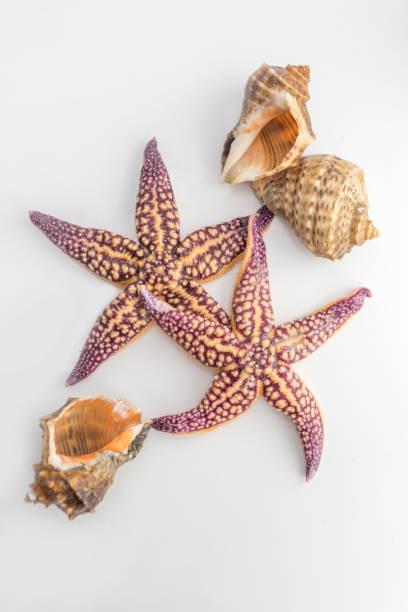 conch starfish - pink and orange seashell background stockfoto's en -beelden