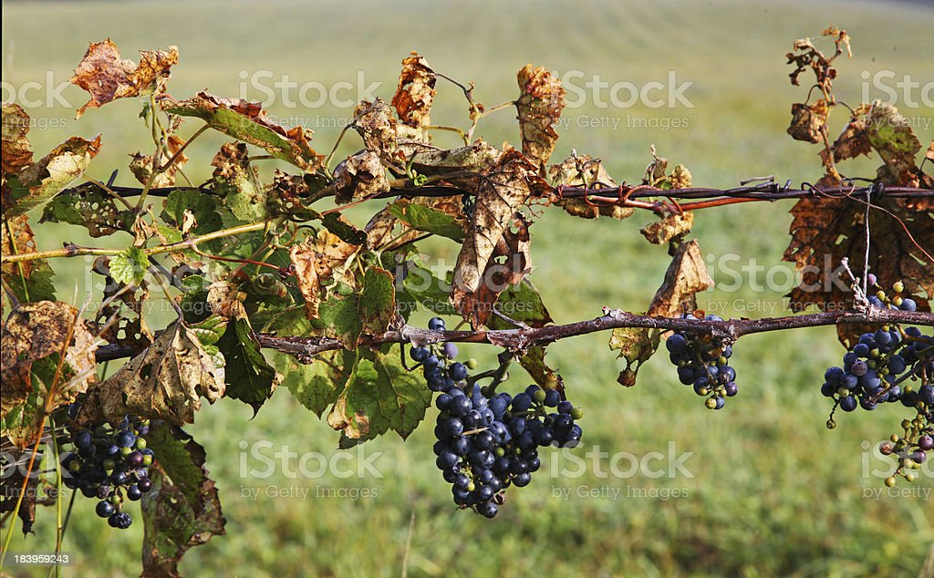 Concord grape vines on barbed wire fence horizontal royalty-free stock photo