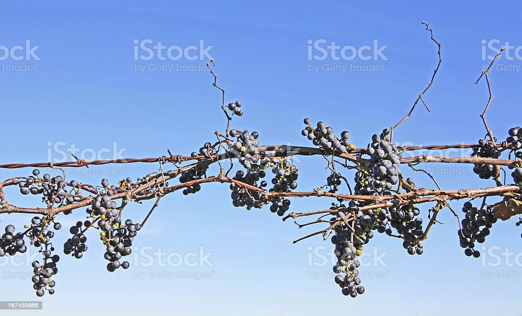 Concord Grape Vines on barbed wire fence royalty-free stock photo