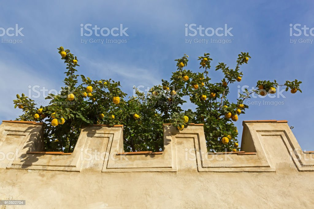 Concrete wall with big yellow Quince fruit tree growing behind stock photo