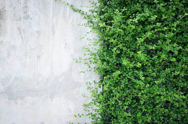 concrete wall with ornamental plants. - murgröna bildbanksfoton och bilder