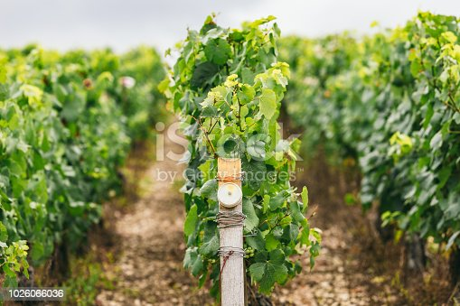 924487256 istock photo Conditions of growing grapes in France, on the grapevine special sensors are installed 1026066036