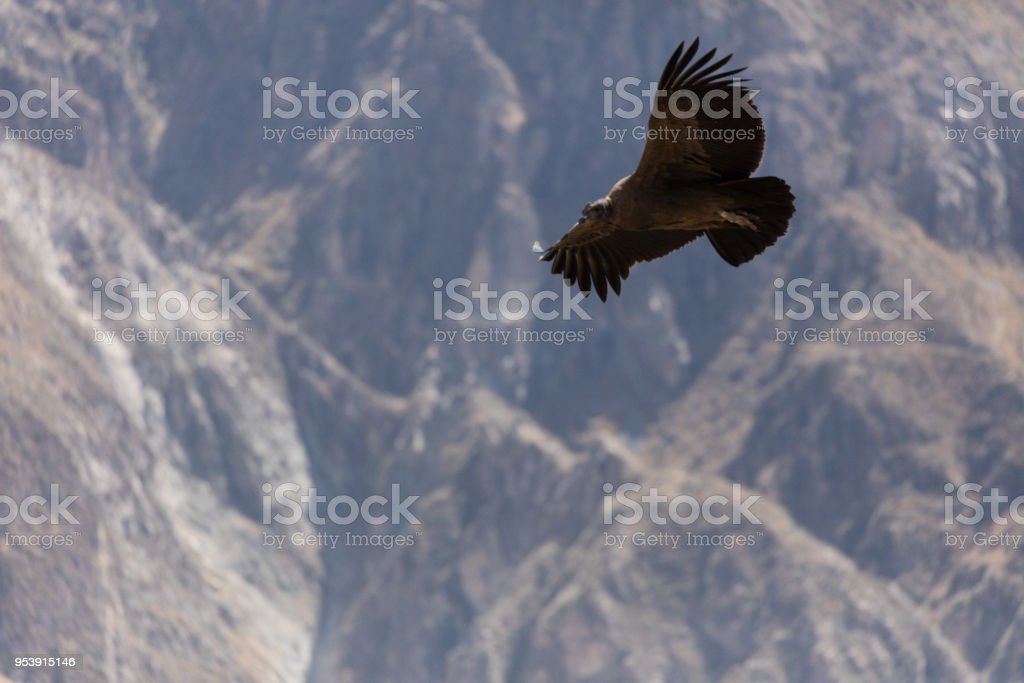 Condor flying  in Peru stock photo