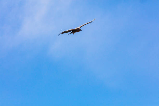 Condor flying  in Peru stock photo