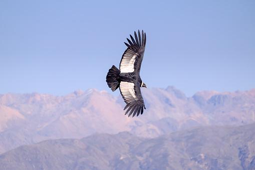 istock Condor flying 911712624