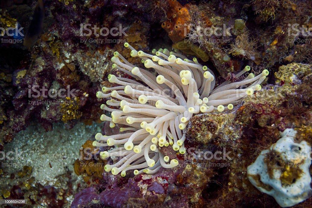 Condylactis gigantea stock photo