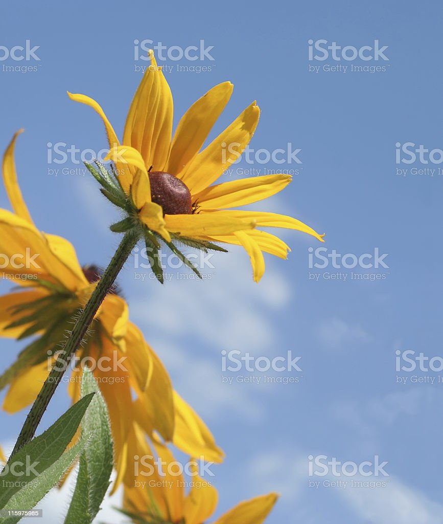 Cone Flower Close-up royalty-free stock photo