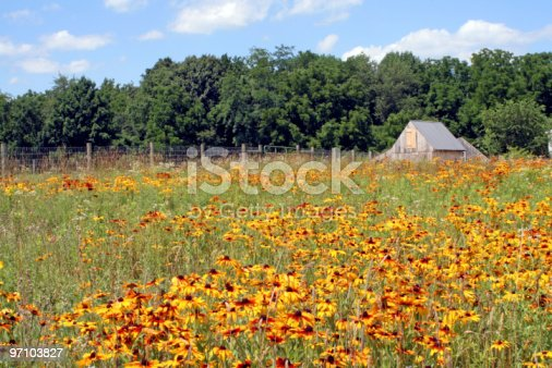 A meadow is filled with cone flowers, horizontal.