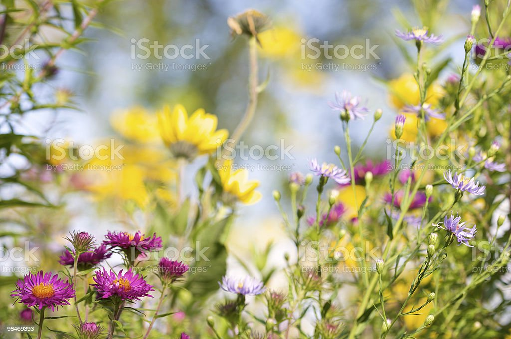 Cone Flower Meadow royalty-free stock photo