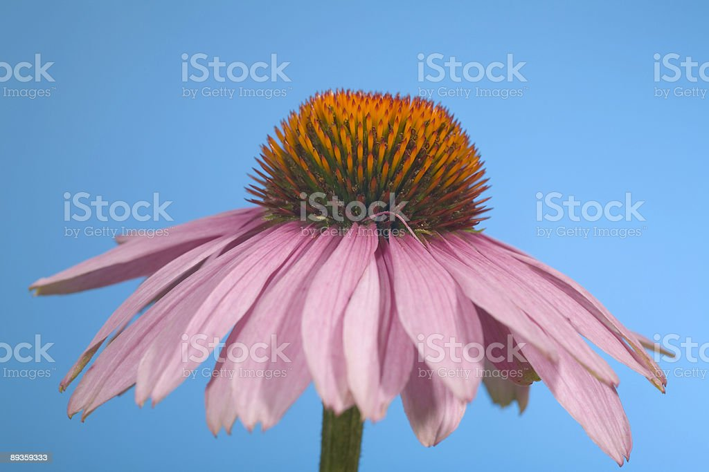 cone flower royalty free stockfoto
