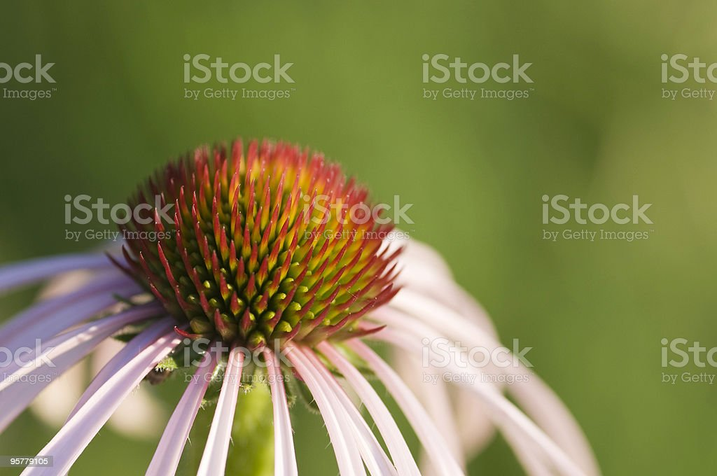 Cone Flower royalty-free stock photo