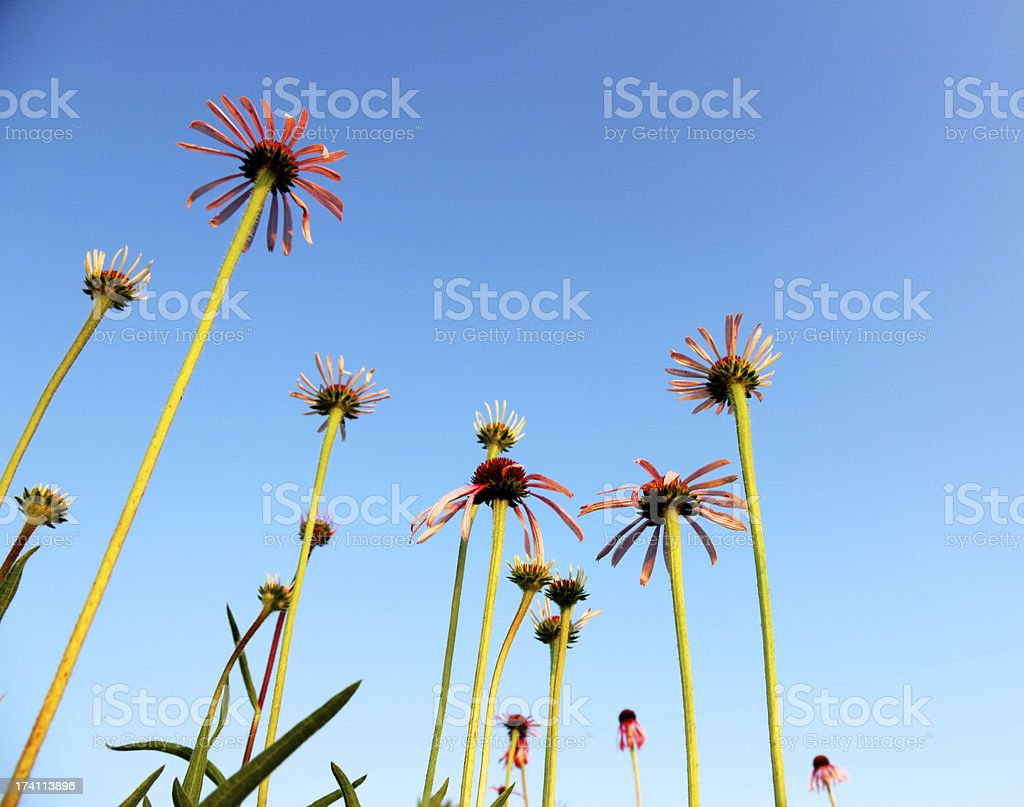 Cone flowers in Midwest prairie with blue sky royalty-free stock photo