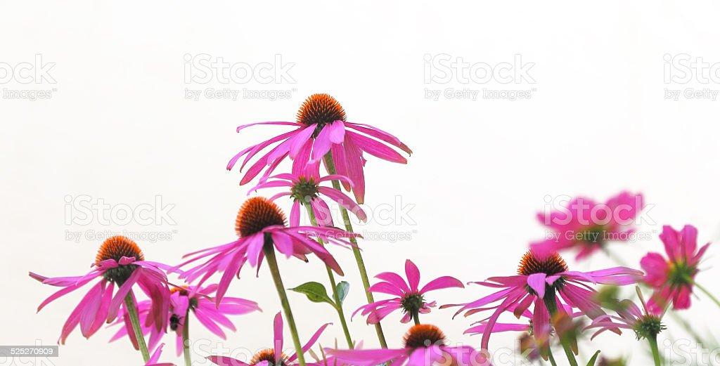 cone flowers stock photo
