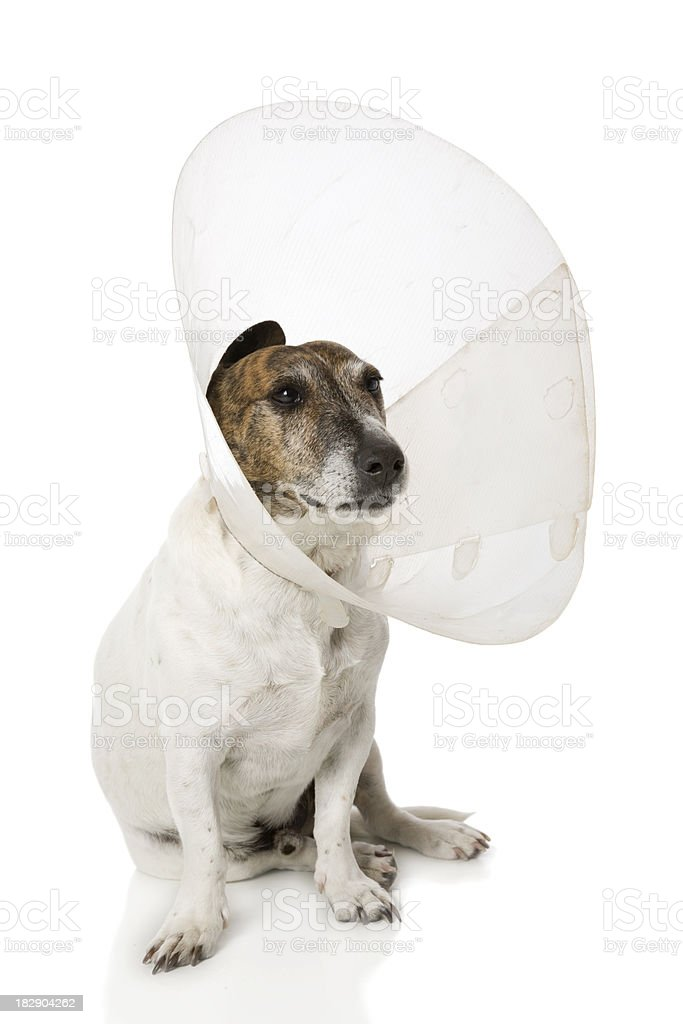 Cone Head Canine royalty-free stock photo