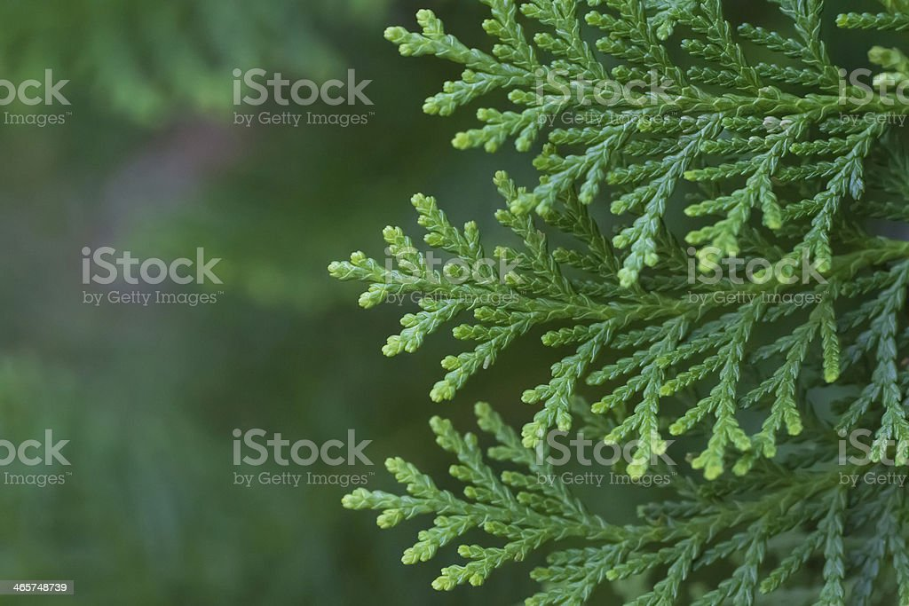 Cone Leaves stock photo