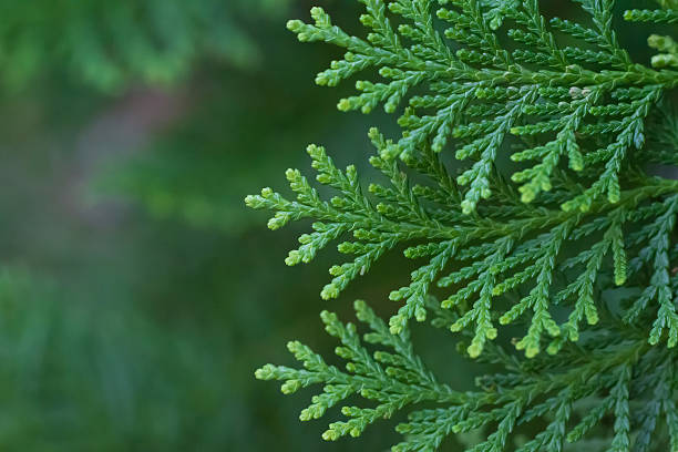 cone leaves - cypress tree stock photos and pictures