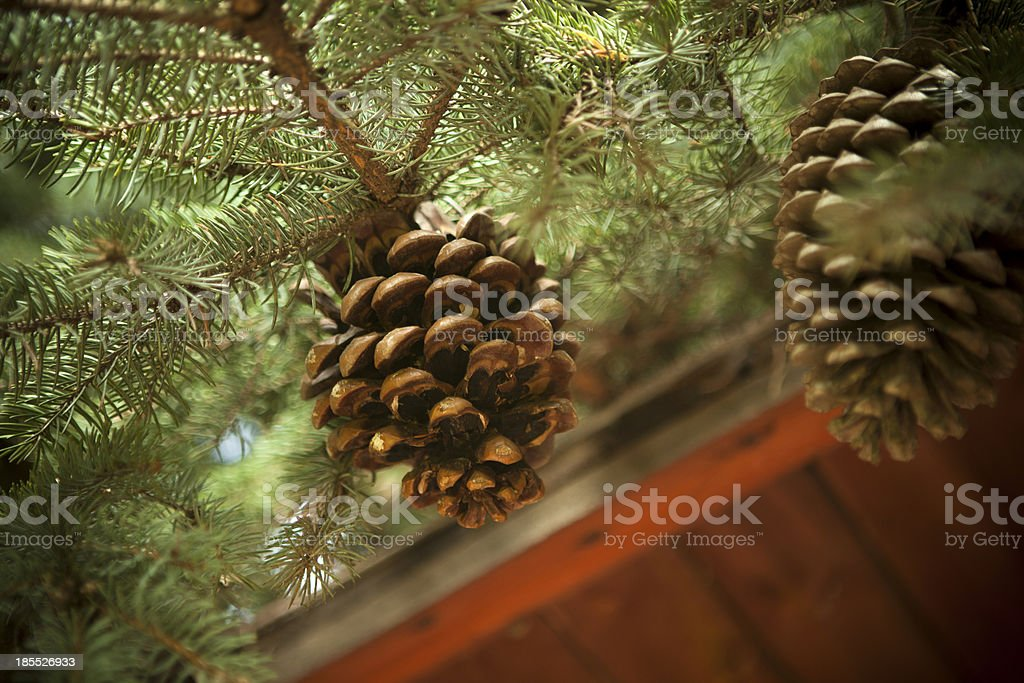 cone on a branch royalty-free stock photo
