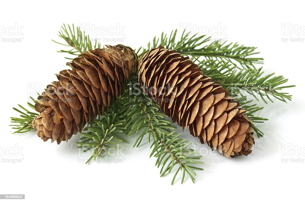 Cone on fir branch stock photo