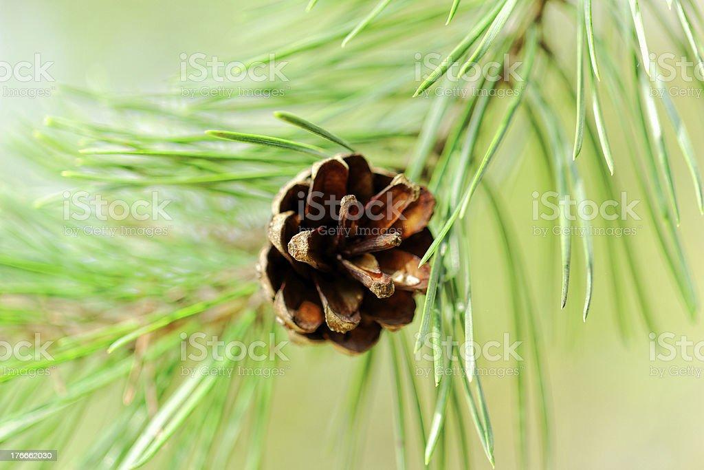 Cono en pine branch foto de stock libre de derechos