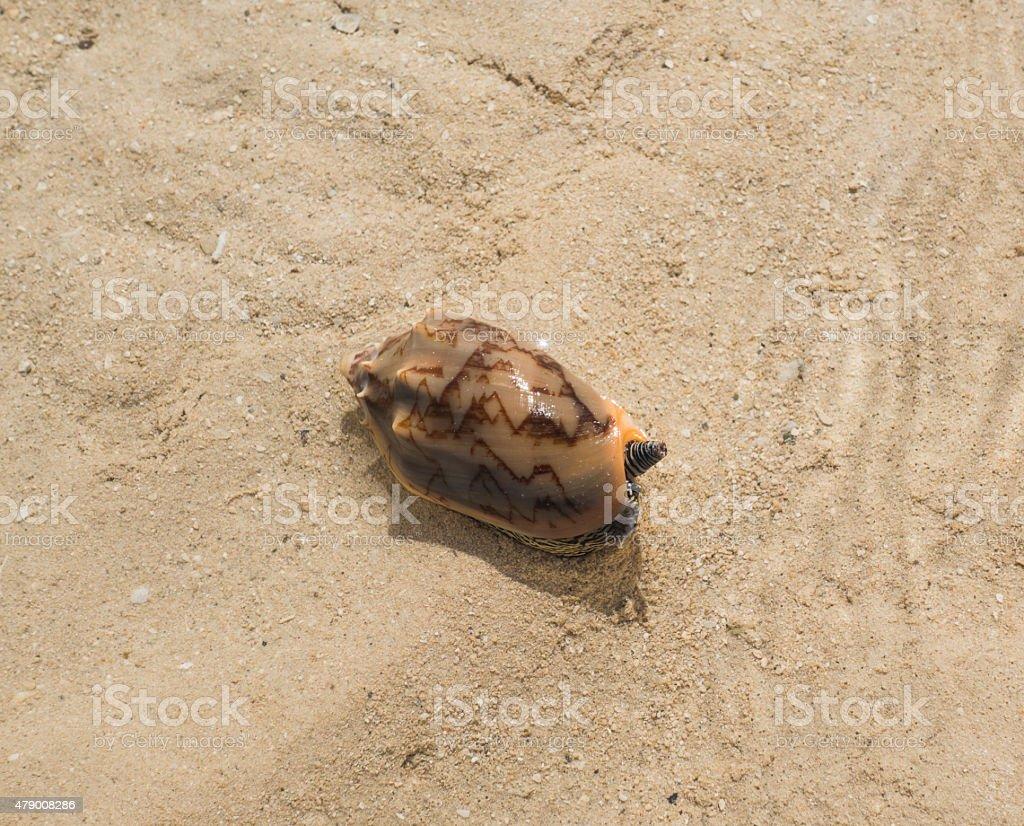 Cone Snail on Sandy Beach stock photo