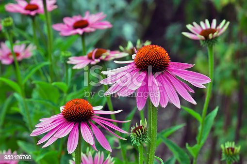 Echinacea is an ancient medicinal plant used by the North American Indians for colds, coughs, sore throats and tonsillitis. Even today, Echinacea angustifolia is used internally against respiratory and urinary tract infections and externally for the treatment of poorly healing wounds.