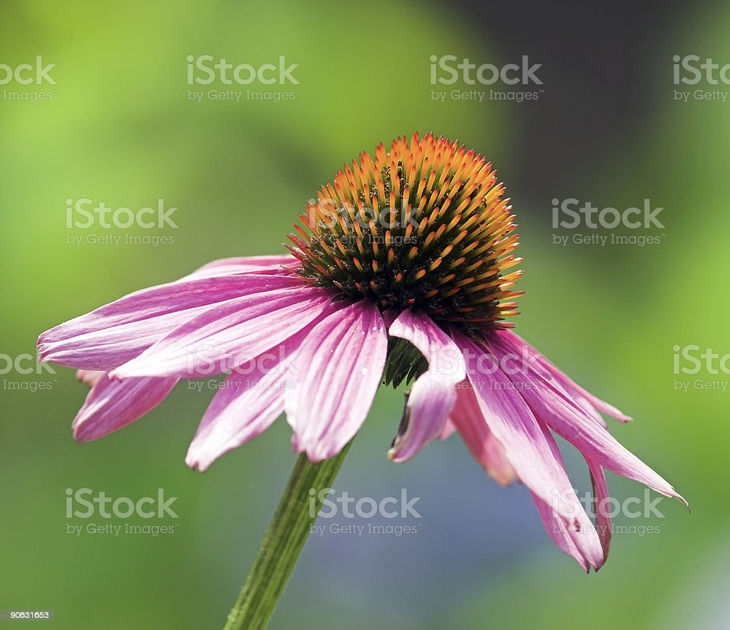 Coneflower royalty-free stock photo