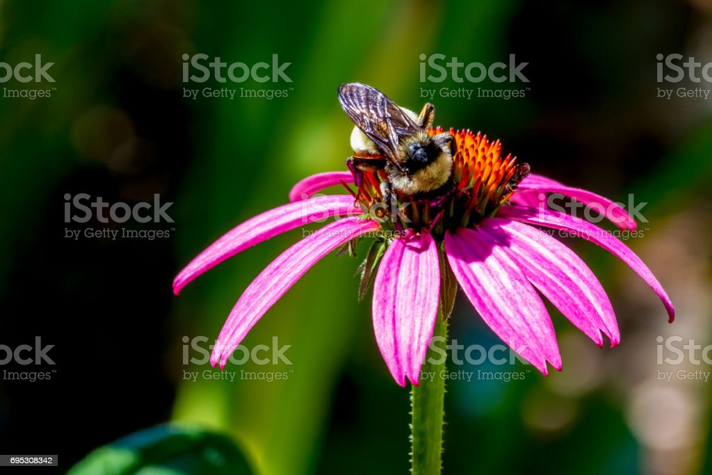 Coneflower with Bumble Bee on Stamen. stock photo