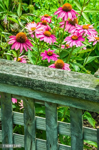 A grouping of pink coneflowers grow behind a wooden fence in a Cape Cod garden.