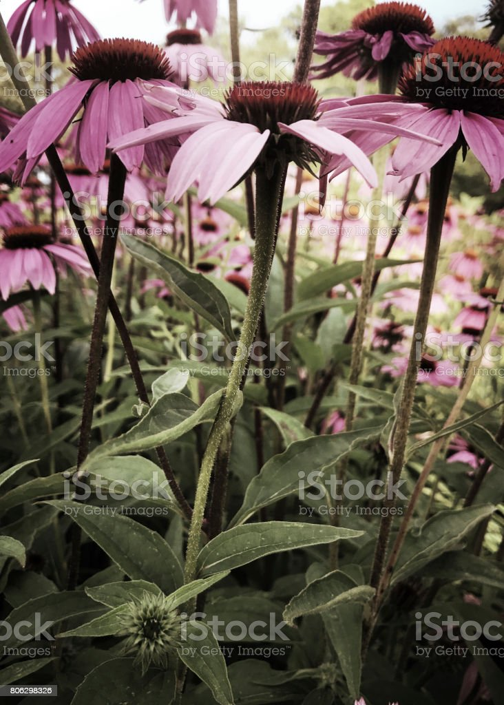 Coneflowers in Summer Flower Garden stock photo