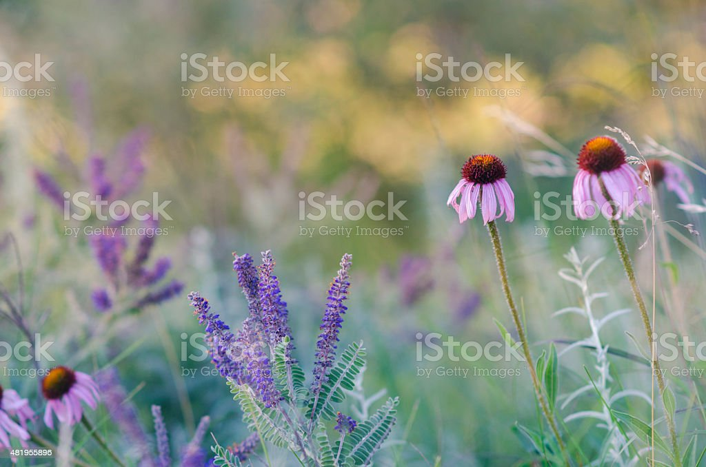 Coneflowers (echinacea purpurea) in the Prairie stock photo