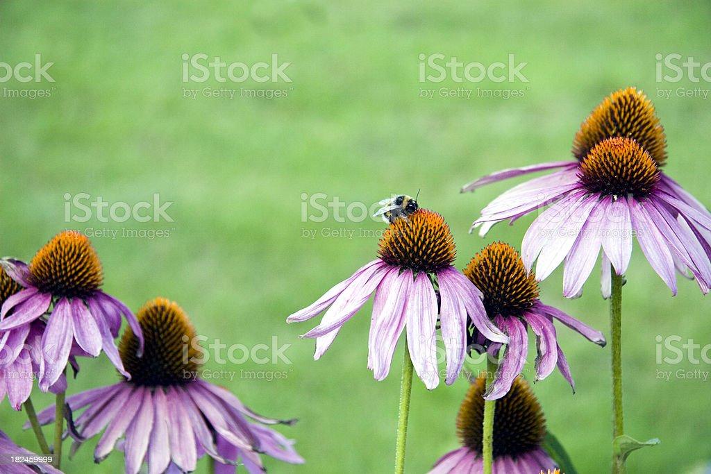 Coneflowers com bumble bee foto royalty-free