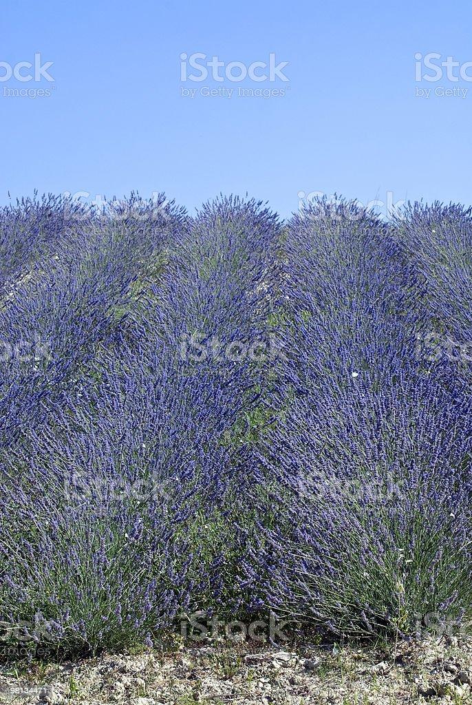 Conero (Ancona, marche)-campo di lavanda e blu cielo foto stock royalty-free