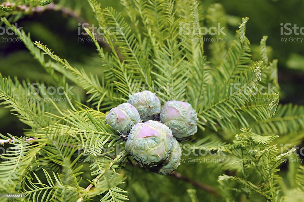Cones and foliage of bald cypress (Taxodium distichum) stock photo