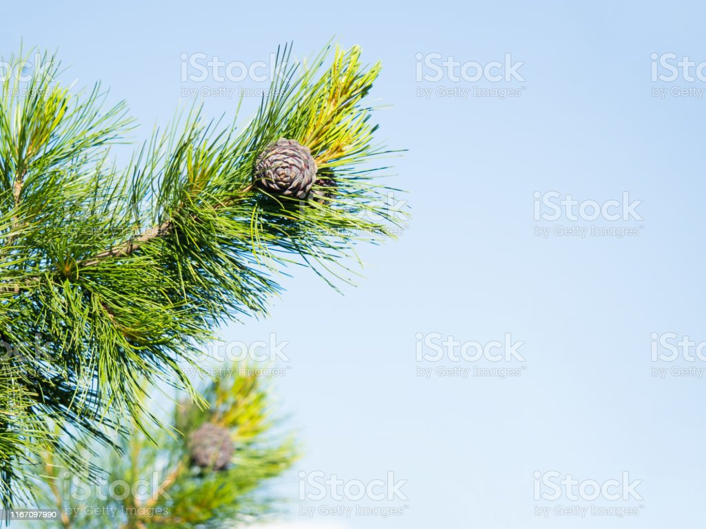 Cones growing on a branch of a Cedar Tree. Natural green background.