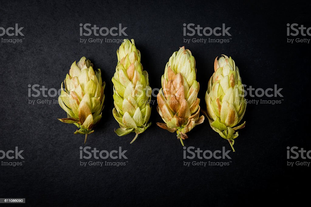 Cones hop beer on a dark background, Humulus lupulus stock photo