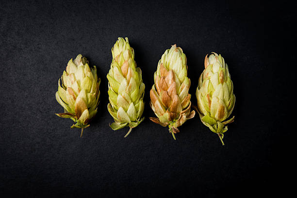 Cones hop beer on a dark background, Humulus lupulus stock photo