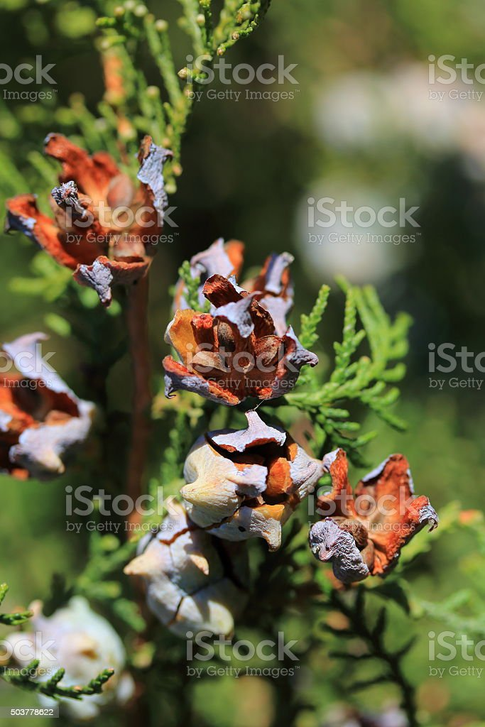 Cones of a western juniper with seeds close-up stock photo