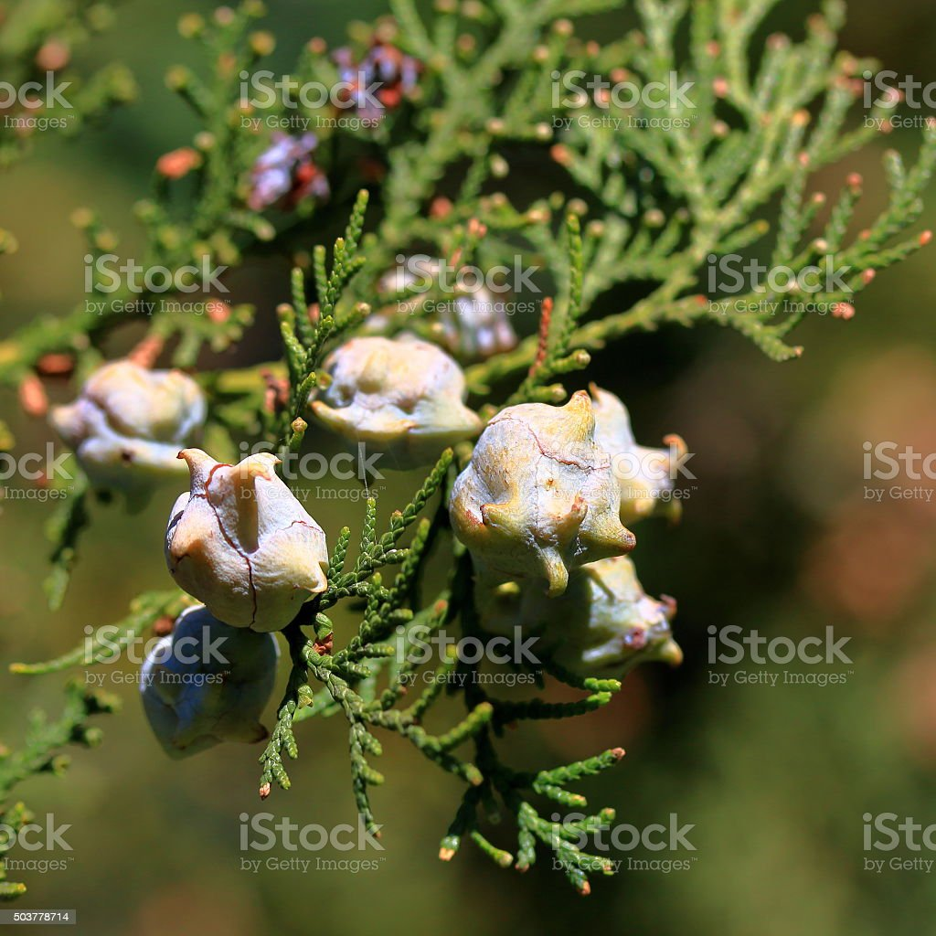 Cones of a western juniper with seeds stock photo