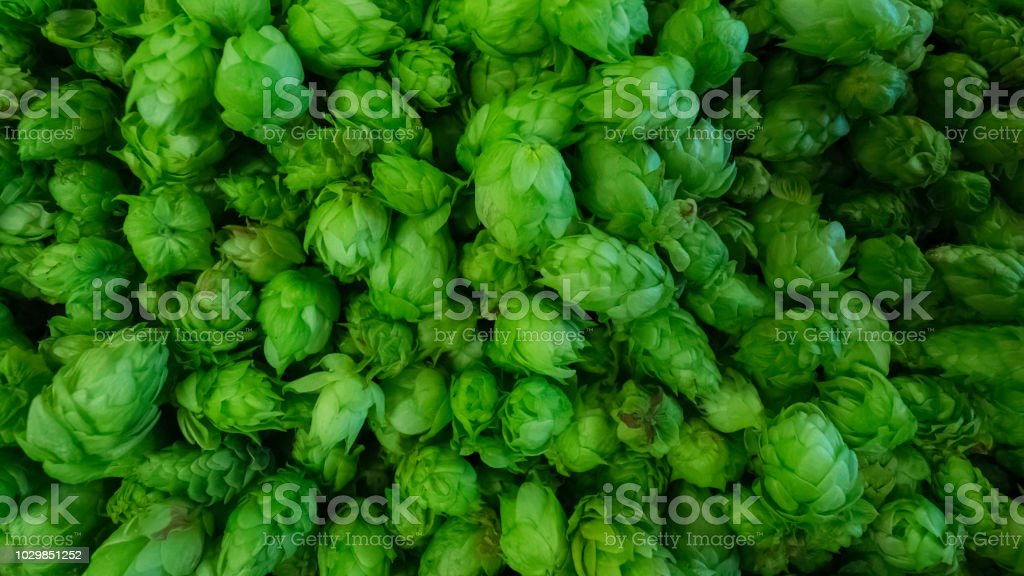 Cones of freshly harvested hops stock photo