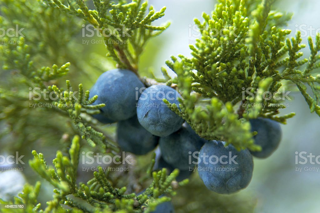 cones of Greek Juniper stock photo
