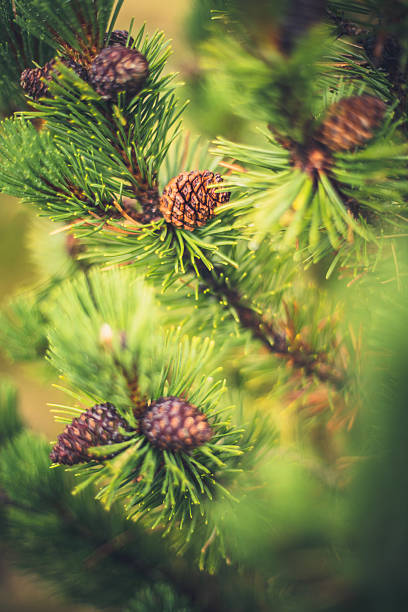 cones on a spruce branches - pinaceae stock photos and pictures