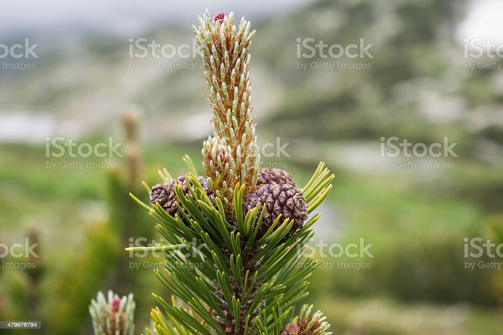 Cones on a young pine tree stock photo