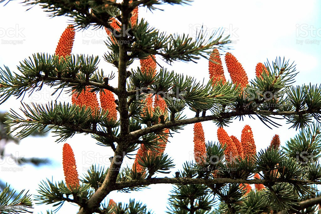 Cones on the branch of fir stock photo
