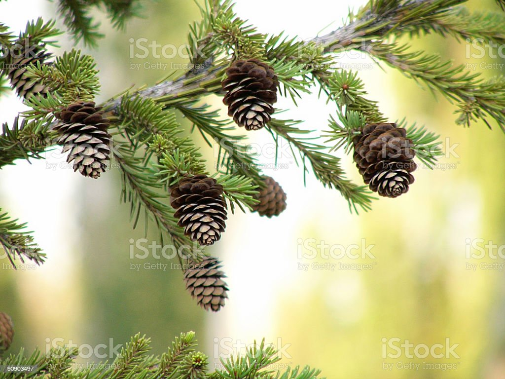 cones on the fir tree branch royalty-free stock photo