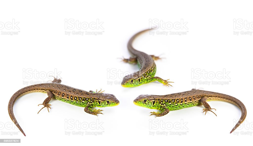 Conference lizards stock photo